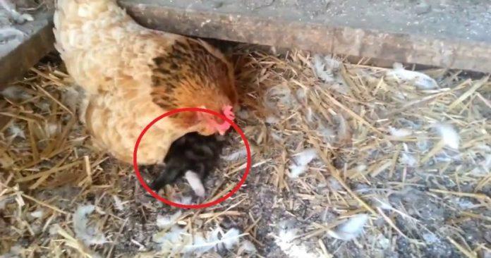 Ֆերմերը նկատել էր, որ իր հավը սկսել է իրեն տարօրինակ պահել․ նա հետևեց հավին, և այն, ինչ տեսավ, պարզապես ապշեցնող է